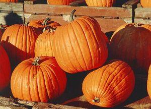 Abóboras populares. Foto de Martin Doege, via Commons - Abóboras populares. Foto de Martin Doege, via Commons